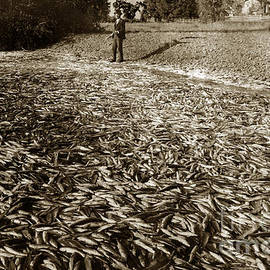 California Views Mr Pat Hathaway Archives -  A run of squawfish stranded in Kelsey Creek near Kelseyville Lake County April 29 1899