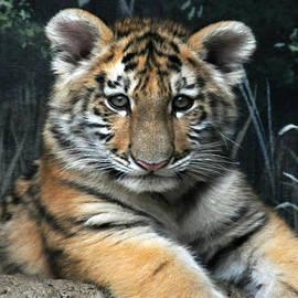 Scott B Bennett -  Bengal Tiger Cub Im the baby