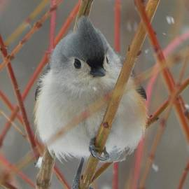 Judy Genovese -  Cute Tufted Titmouse