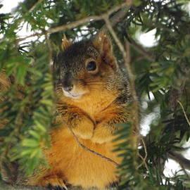 Dennis Pintoski -  Fox Squirrel
