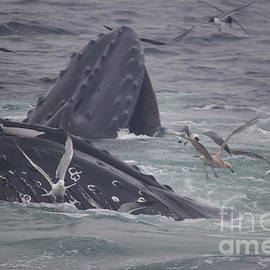 Deborah Talbot - Kostisin -  Humpbacks Feeding