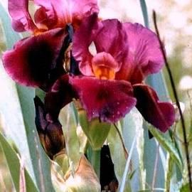 Michael Hoard -  Mississippi Purple Iris