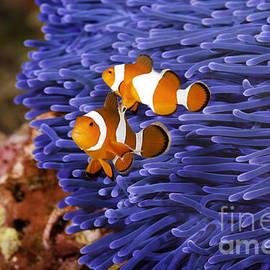 Anthony Totah -  Ocellaris Clownfish