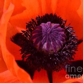 Kathleen Struckle -  Orange Poppy