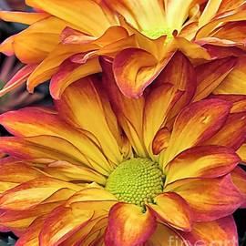 Janice Drew -  Pelee Chrysanthemums