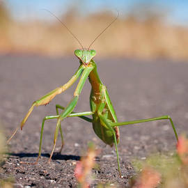 David Lamb -  Praying Mantis Macro