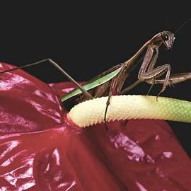 Leslie Crotty -  Praying Mantis  walking on an Anthurium Flower