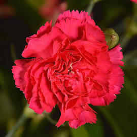 Norng Ti  -  Red Carnations