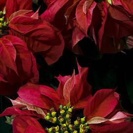 Chris Scroggins -  Red Poinsettias Flowers