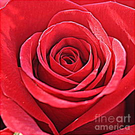 Photographic Art and Design by Dora Sofia Caputo -  The Red Rose of Spring