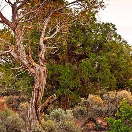 Bob and Nadine Johnston -  Weathered Tree Sunrise Canyon DeChelly