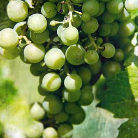 Tom Gari Gallery-Three-Photography -  White Wine Grapes