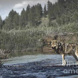 Wildlife Fine Art -  Wolf in the Rain