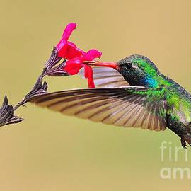 Alain Martens -  Broad-billed Hummingbird