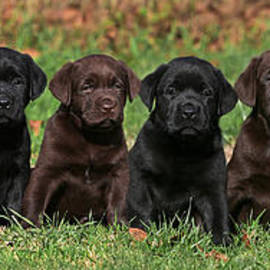 Dog Photos - 8 Labrador Retriever puppies brown and black side by side