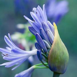Sharon Mau - Agapanthus orientalis - Lily Of The Nile