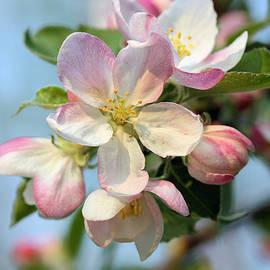Kristin Elmquist - Apple Blossom