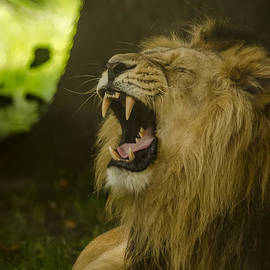 Darren Wilkes - Asiatic Lion