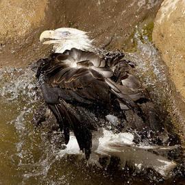 David Millenheft - Bald Eagle