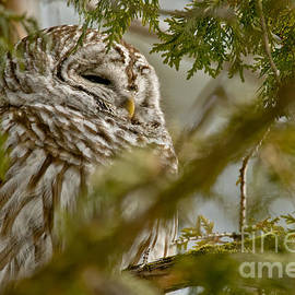 Michael Cummings - Barred Owl