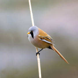 Chris Smith - Bearded Tit