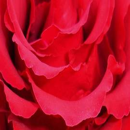 Tracey Harrington-Simpson - Beautiful Close Up Of Red Rose Petals