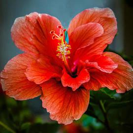 Robert Bales - Beautiful Hibiscus