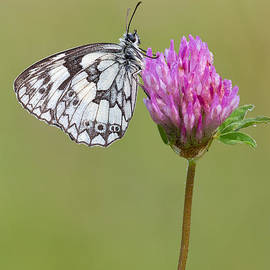 Mark Monckton - Beautiful Marbled White Butterfly