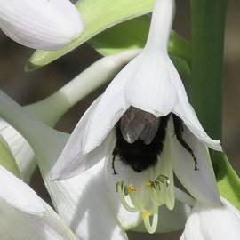 Lynne Miller - Bee Inside a Hosta Flower