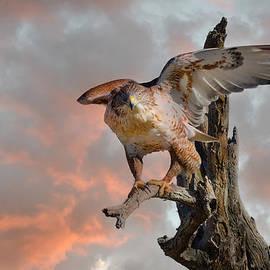 Barbara Manis - Bird of Prey