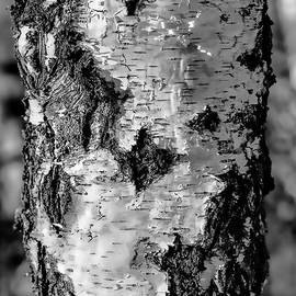 Leif Sohlman - Black and white #birch In Sunlight The White And Dark #trunk Is Lightened By The Sun On January 2015