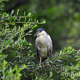 Al Powell Photography USA - Black-crowned Night-Heron