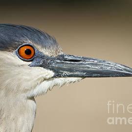 Bryan Keil - Black crowned night heron