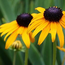 Bruce Bley - Blackeyed Susans