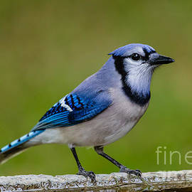 Dawna  Moore Photography - Blue Jay Fernandina Beach Florida