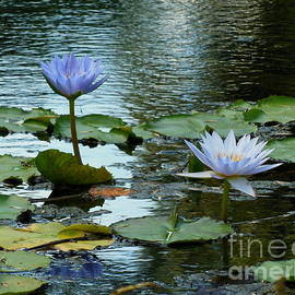 Marie Sager - Blue Water Lilies