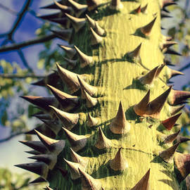 Sharon Mau - Bombacaceae Floss Silk Tree Chorisia speciosa Hawaii