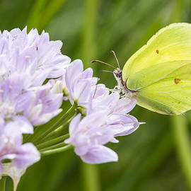Chris Smith - Brimstone butterfly on a Flower