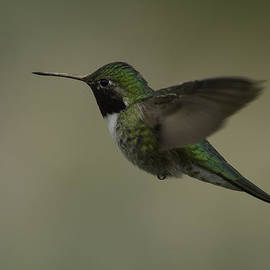 Terry Leasa - Broad-Tailed Hummingbird