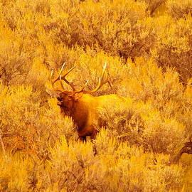 Jeff  Swan - Bull elk calling out