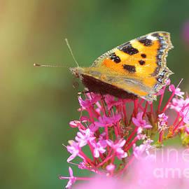 Gregory DUBUS - Butterfly on valerian flower
