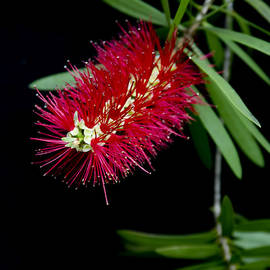 Sharon Mau - Callistemon Citrinus - Crimson Bottlebrush Hawaii