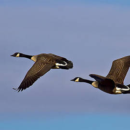 Jim Jones - Canada Geese in flight