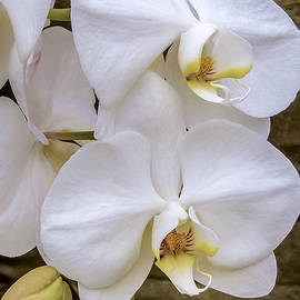 Julie Palencia - Cascade of White Orchids