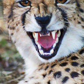 Stanza Widen - Cheetah With Attitude