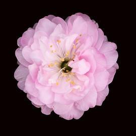 Xenia Headley - Cherry Blossom Trio