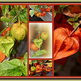 Mother Nature - Chinese Lanterns Plant - Physalis alkekengi