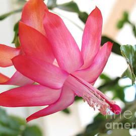 Victoria  Dauphinee - Christmas Cactus