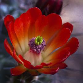 Saija  Lehtonen - Claret Cup Cactus
