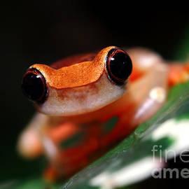 Brandon Alms - Clown Tree Frog